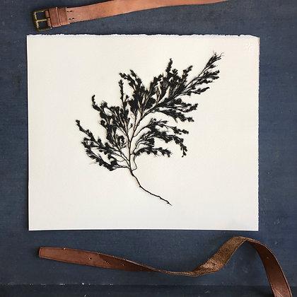 Seaweed Pressing 33x28