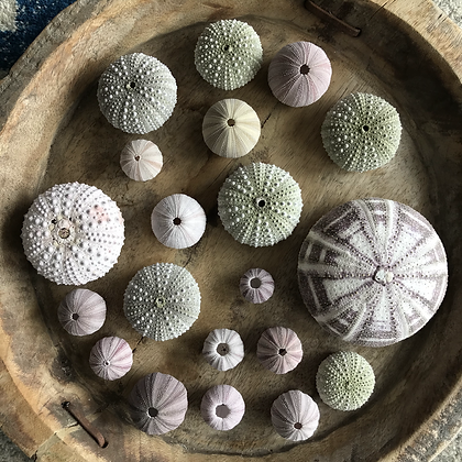 Urchin Collection B