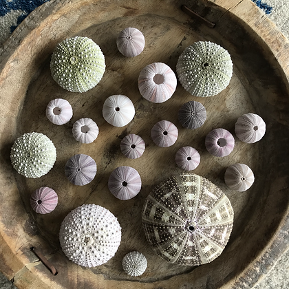 Urchin Collection G