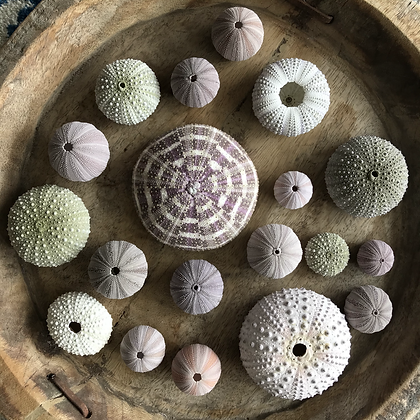 Urchin Collection F
