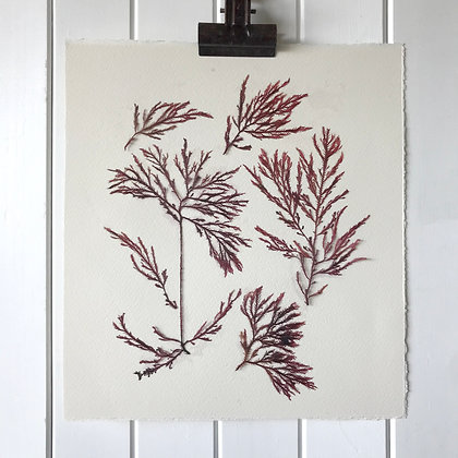 Seaweed Pressing 2