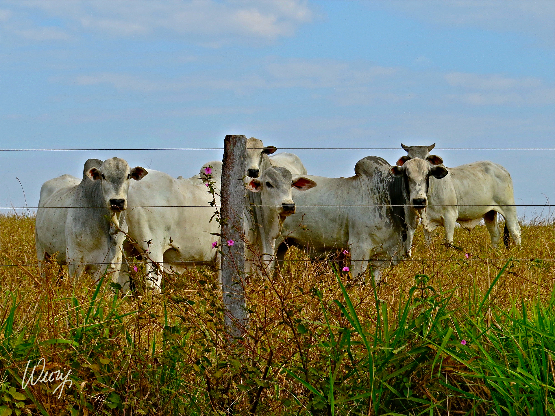 BRAZILLIAN CATTLE