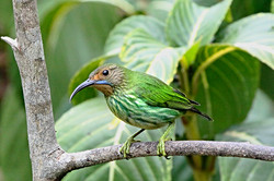 FEMALE HONEYCREEPER