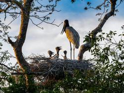 Jabiru Stork Family