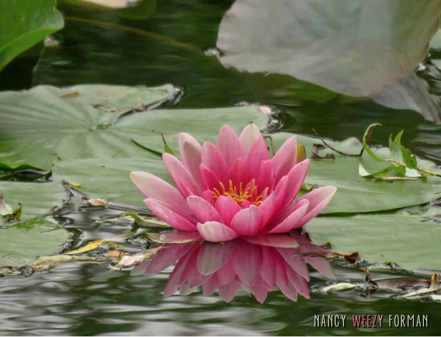 Monet's Lillys