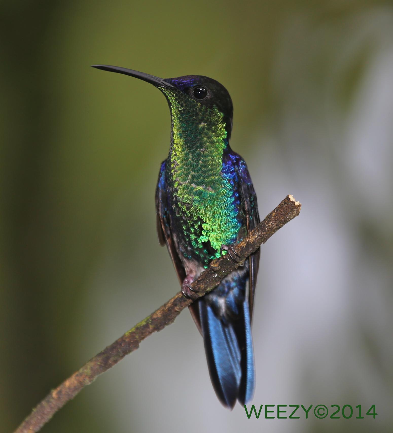 HONDORAS HUMMINGBIRD