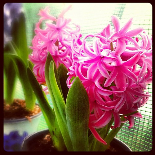 247: mom's hyacinth in new green house.