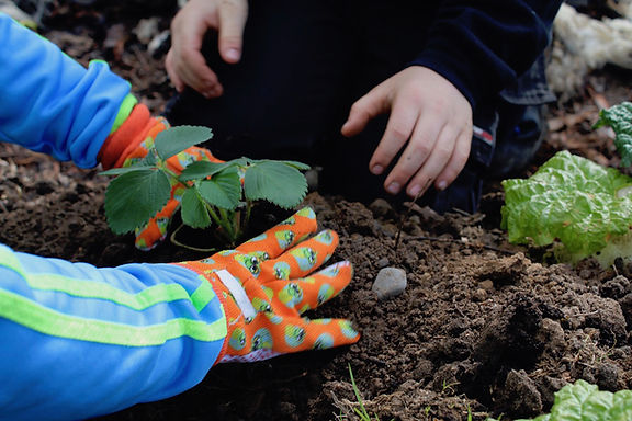 Begley planting strawberries.jpg