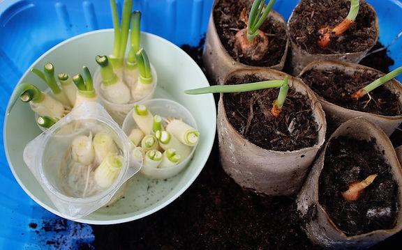 spring-onion 2.jpg