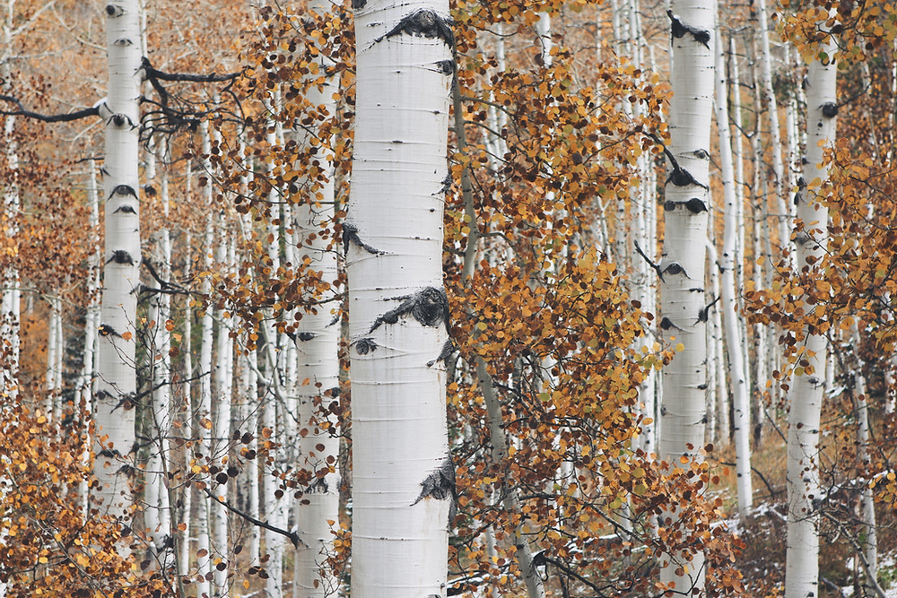 Birch trees with orange leaves during autumn