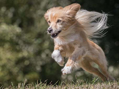 20/06 : Séances photos de chiens dans l'action à Bouge