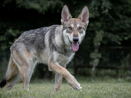 26/09 : Séances photos de chiens dans l'action à Naninne