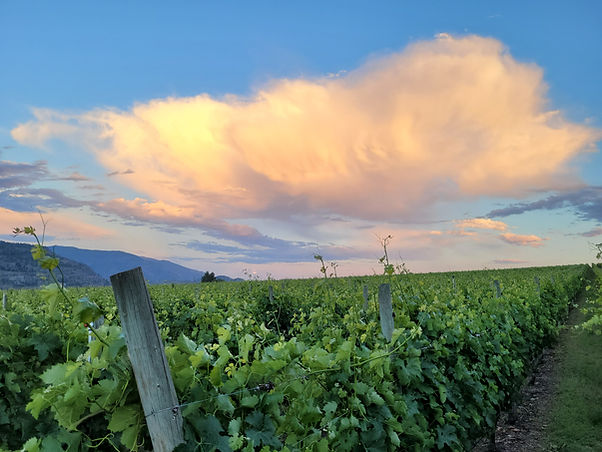 Hester Creek vineyards, courtesy of Liana R.