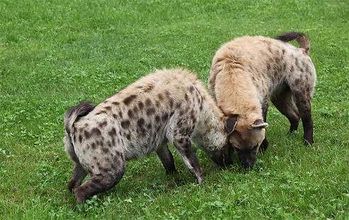 Hyène-parc-safari