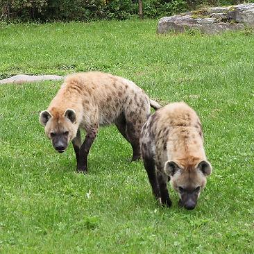 Hyène