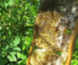 Le miel des Abricots, Haïti