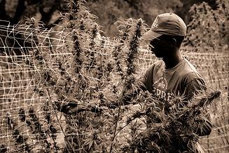 terre-di-cannabis-epI_rEeUrJA-unsplash_e