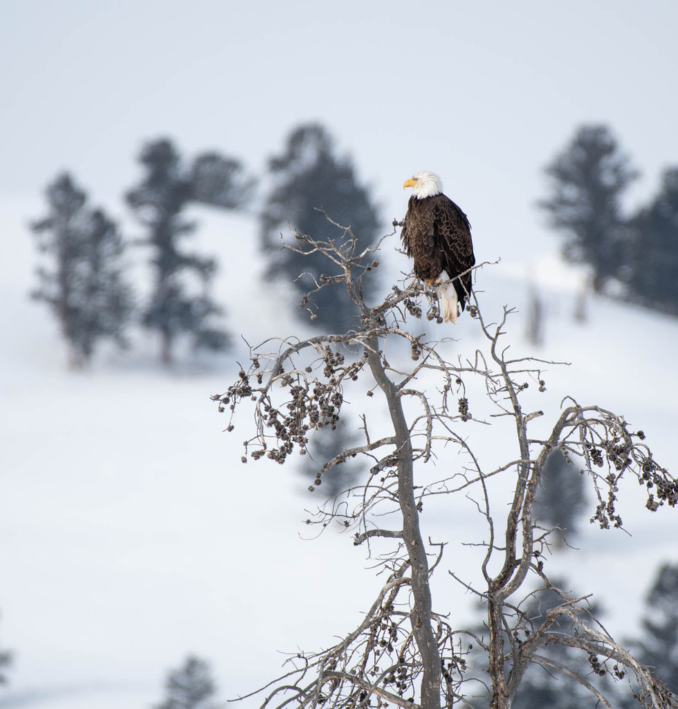 Yellowstone, paradis blanc