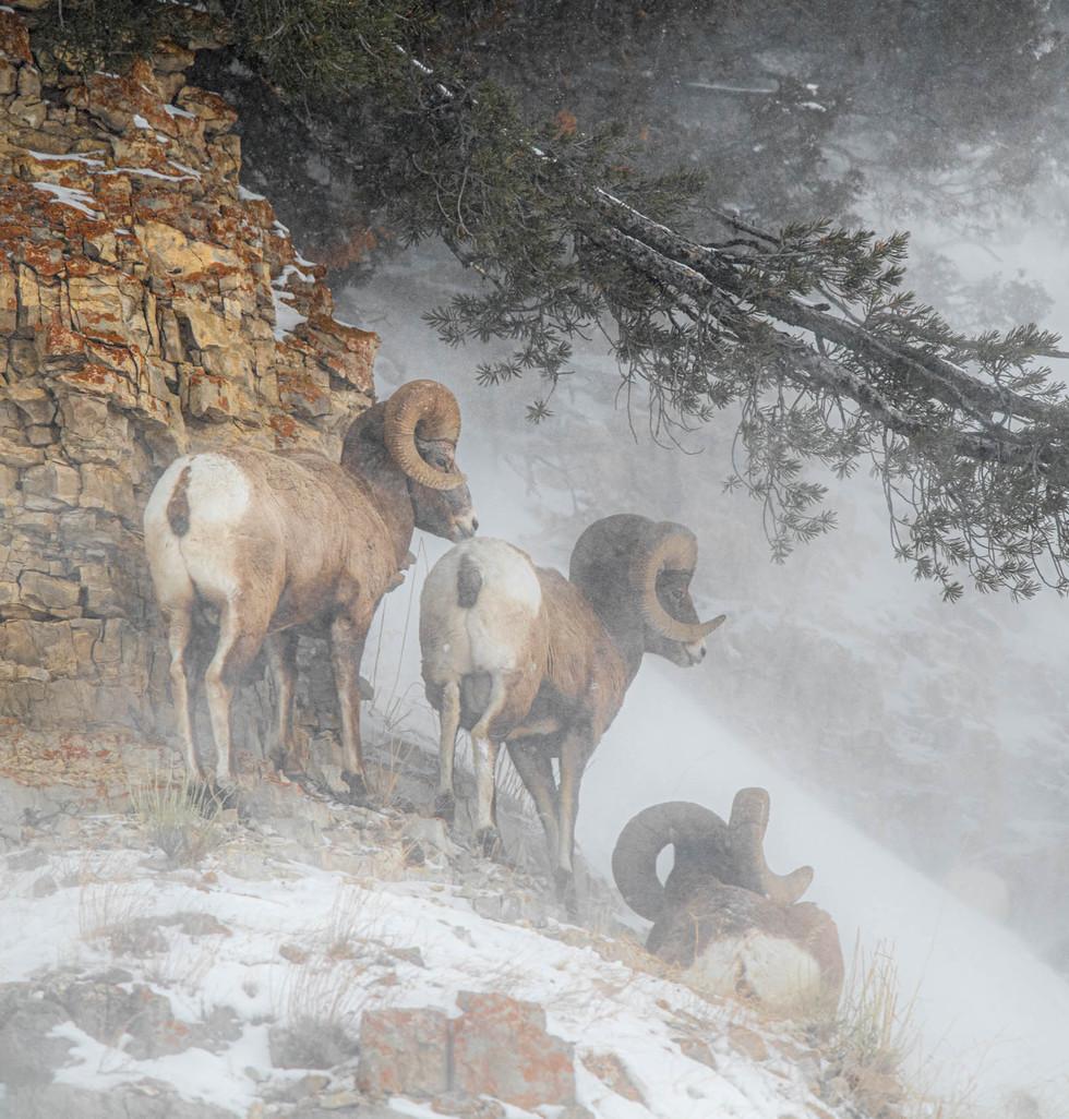 Yellowstone, paradis blanc séjour photo