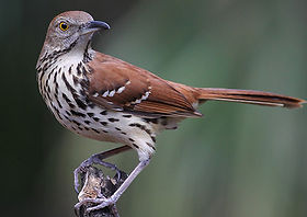 Portrait of a Brown Thrasher_web.jpg