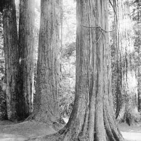 Trees of British Columbia