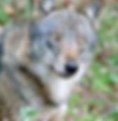 canis-lupus-italicus.jpg