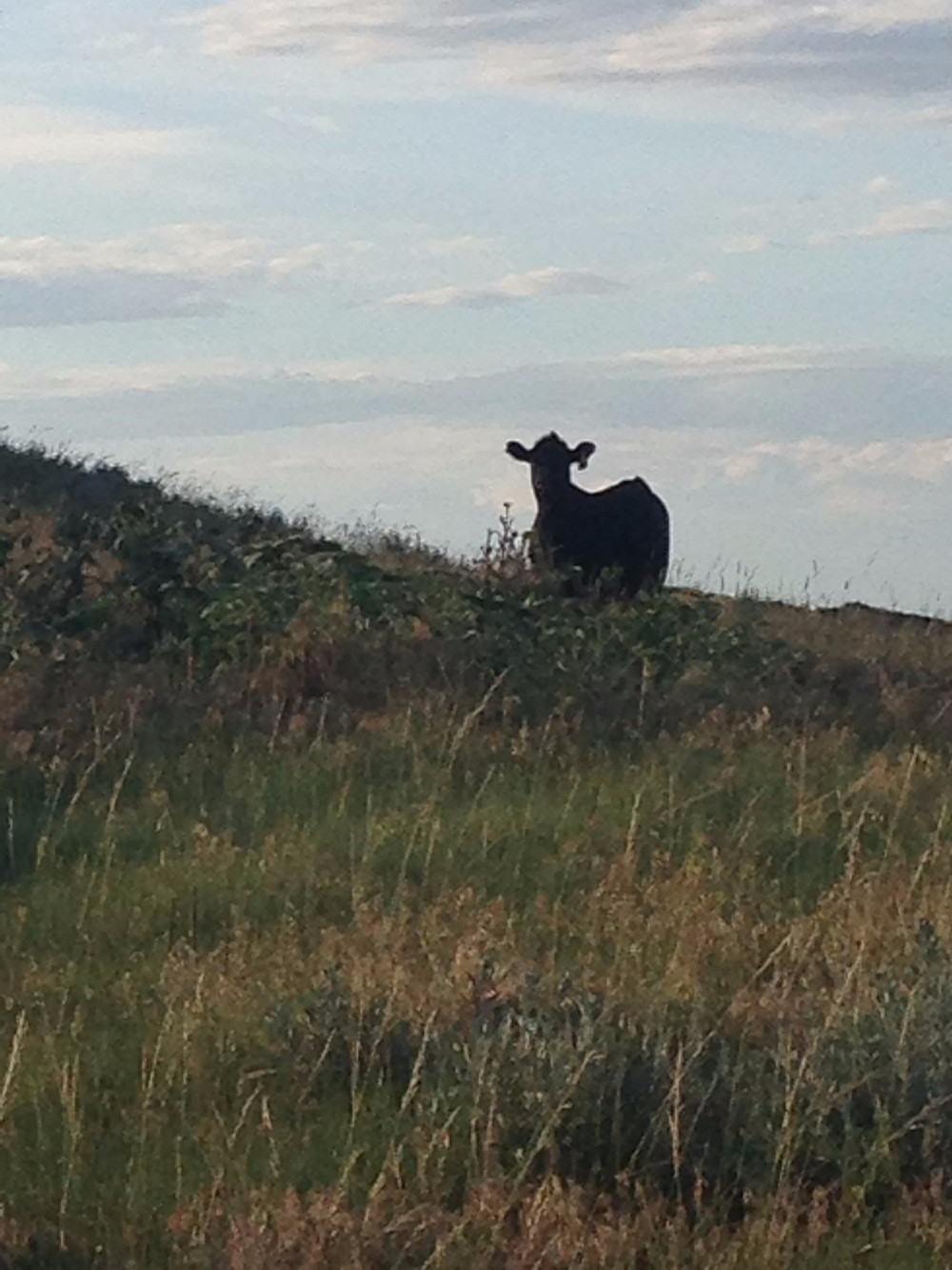Sometimes you might encounter unexpected cows on your mountain, or a whole herd, and this might throw you off track, and you may get lost for a moment, as the sun is going down, but errrrrr, well that's a story for another day.
