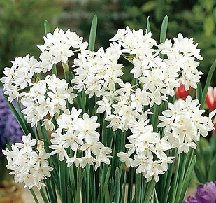 Paper Whites Cropped.png