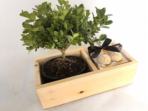 Bonsai Box Ferrero