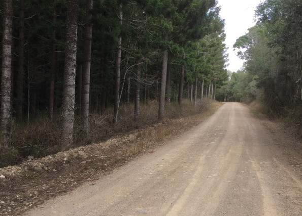 Into the pine forest