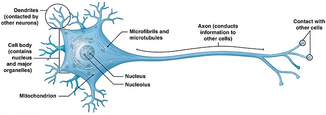 neuron 2.png
