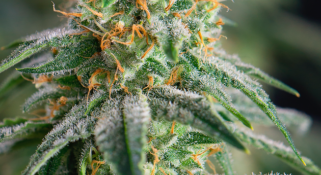 DIY: Strain Specific Tinctures | Positive Energy Cannabis Dispensary