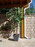 Mietpflanze Ficus Benjamin