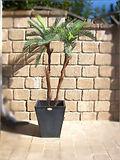 Mietpflanze Palme 2