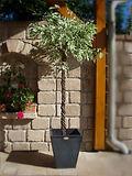 Mietpflanze Ficus-Bäumchen