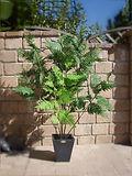 Mietpflanze Farn