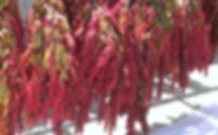 日曬台灣紅藜