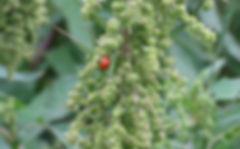 台灣紅藜田 生態平衡