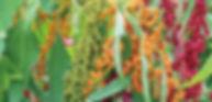 台灣原生種紅藜