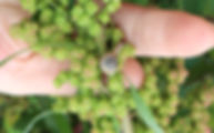 紅藜田 環境共生