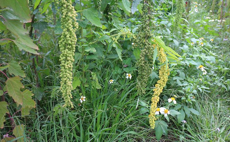 紅藜田 草生栽培