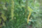 紅黎田 草生栽培