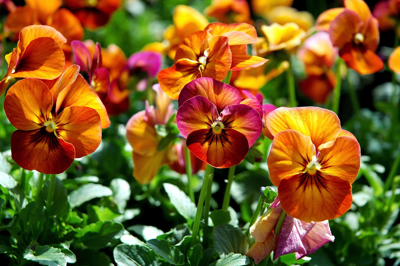 Pansy Mulberry Shades
