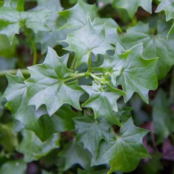 Vine German Ivy