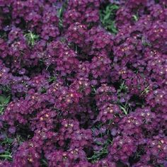 Alyssum Deep Purple