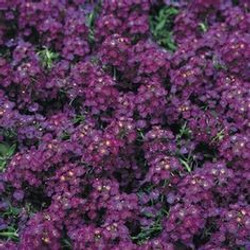 Alyssum Deep Purple