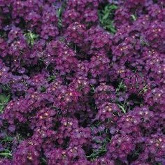 Alyssum Sweetie Deep Purple