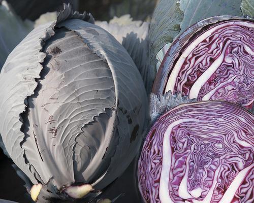 Cabbage Klimaro