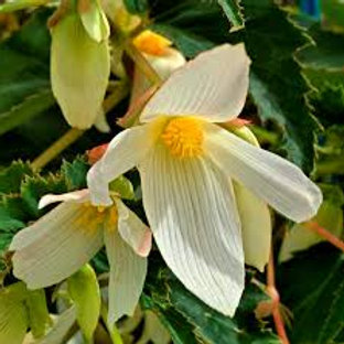 Begonia Santa Barbara