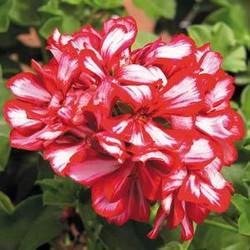 Geranium Candy Cane